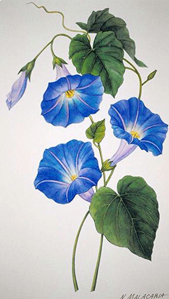 Blue Flower Clipart Morning Glory Vine 15 591 X 1016 In 2020 Flower Art Watercolor Flowers Floral Painting