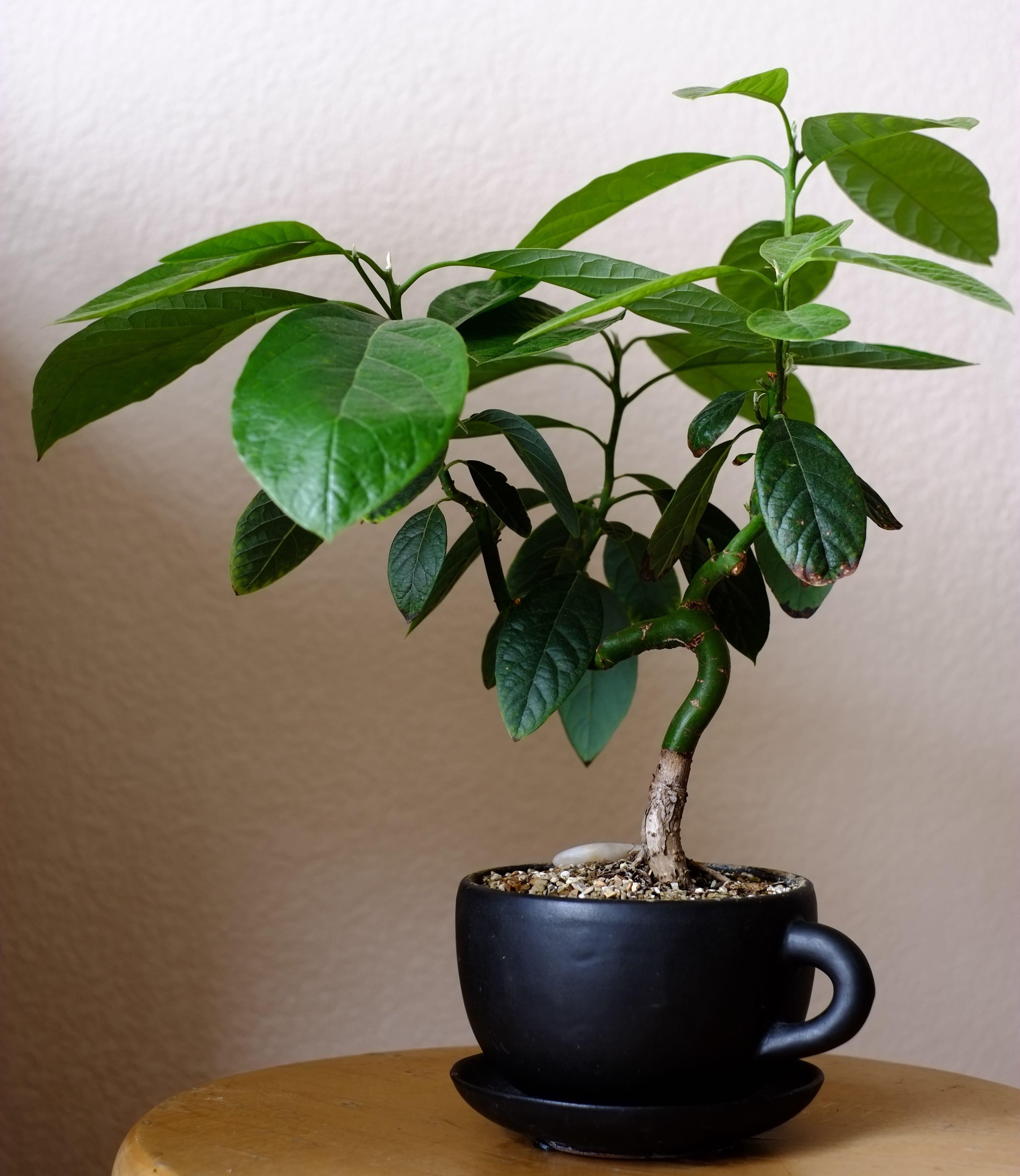 Www Helpfulgardener Com Forum Download File Php Id 17682 Mode View Jade Plant Bonsai Bonsai Plants Indoor Gardening Supplies