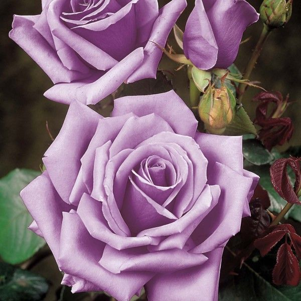 The Blue Moon Rose Stakehillnurseries Co Uk