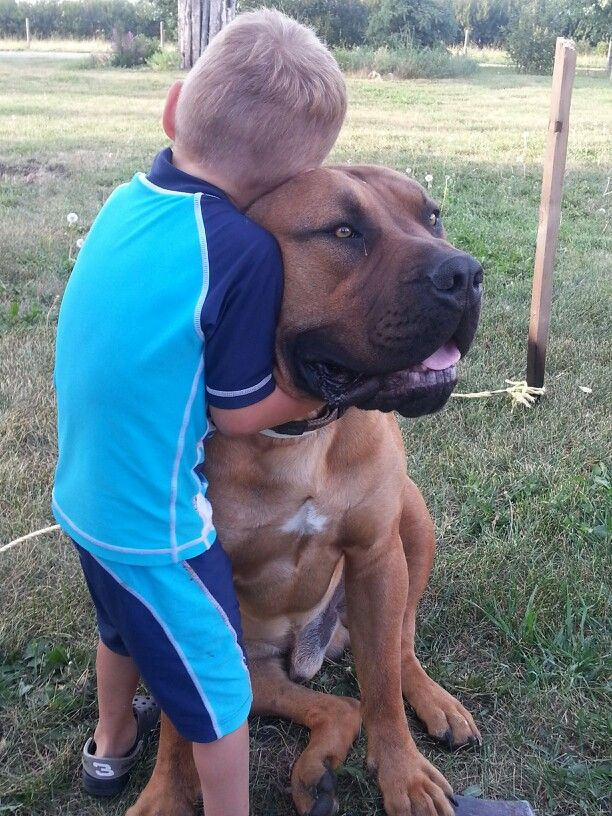 South African Boerboel | dogs | Dogs, Dog breeds, Pet dogs