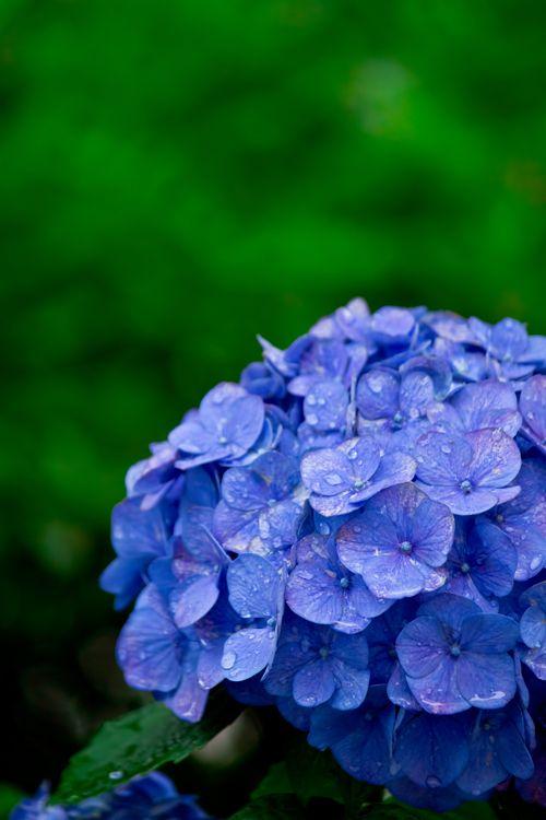 Las hortensias son unas de mis flores favoritas. Me recuerdan a San ...