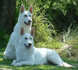 Breeders The White Swiss Shepherd Dog Club Of Australia Inc Shepherd Dog