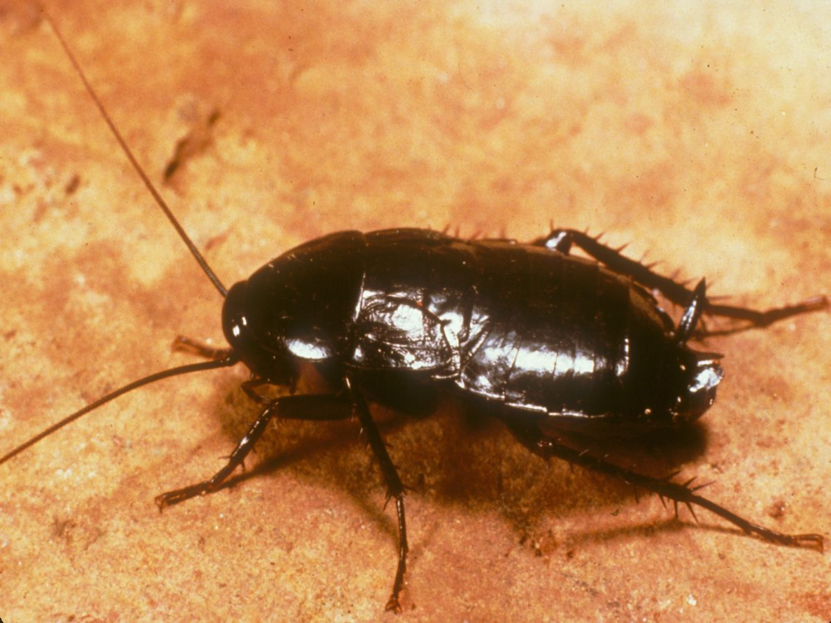 Here Are The Best Methods To Get Rid Of Waterbugs In Your House For Good Get Rid Of Waterbugs Home Remedies For Roaches Cockroaches
