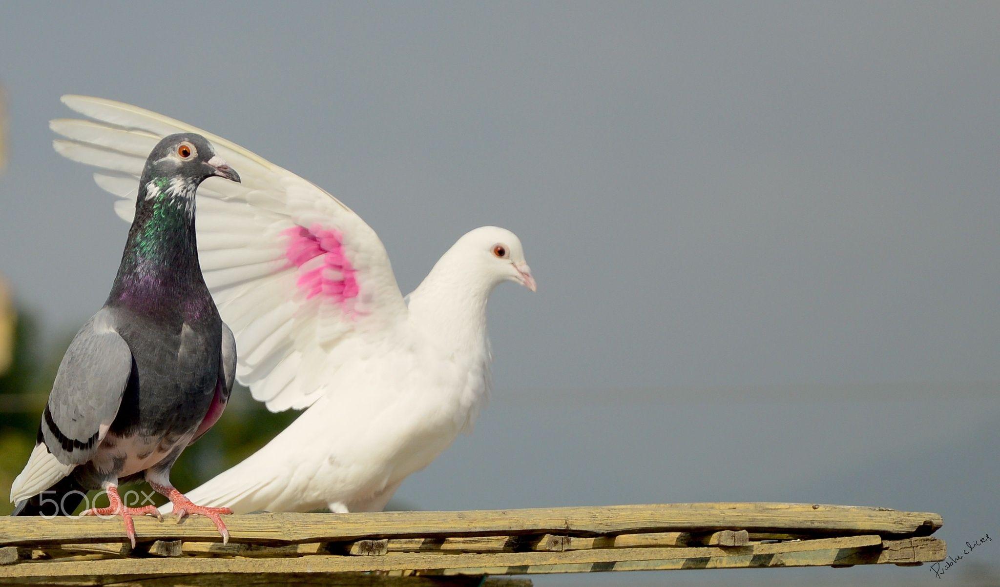 Dove - prabhuclciks