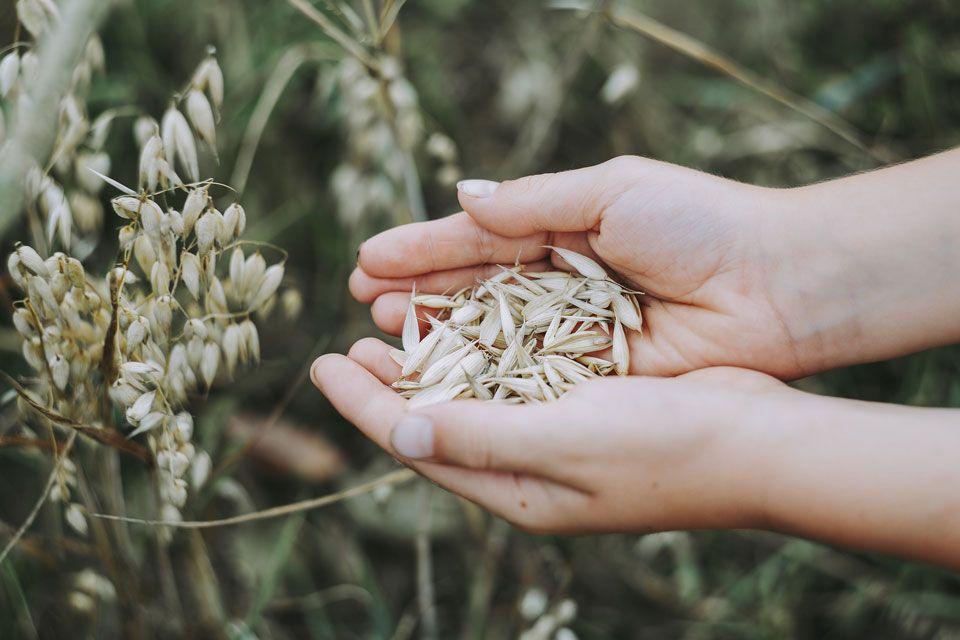 Mich Sticht Der Hafer Sie Auch Hafer Als Heilpflanze Hafermilch Gesund Hafer Haferkleie