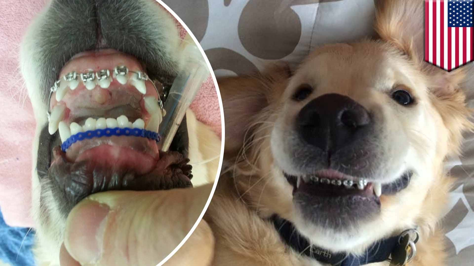 Dog Wearing Braces After Being Diagnosed With Malocclusion Photos