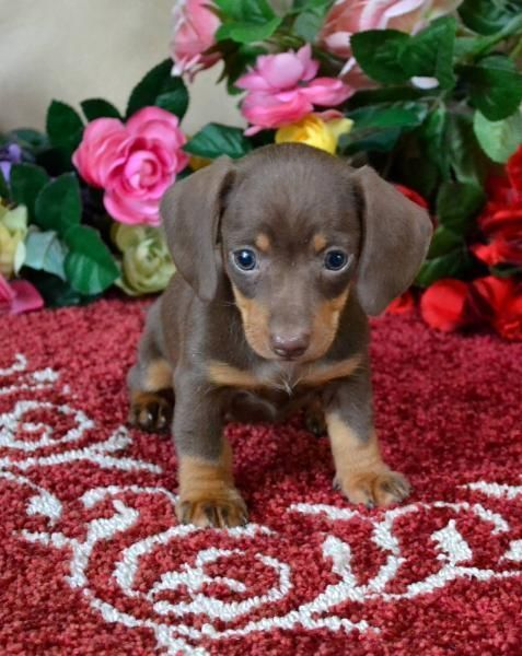 Smooth Chocolate And Tan Miniature Dachshund Cocoa Found At