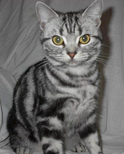 American shorthair cat for sale in malaysia