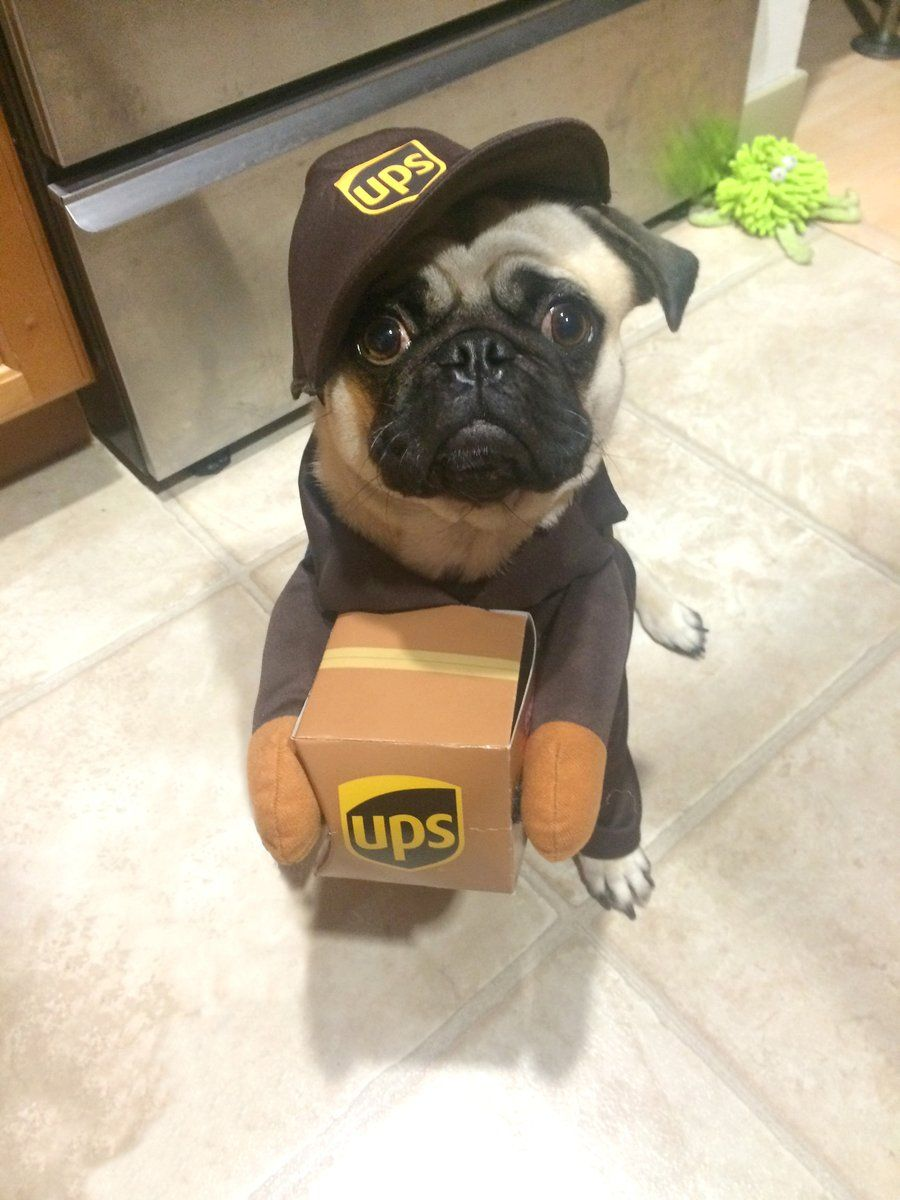 Pug dressed as a UPS delivery person Pugs, Cute funny