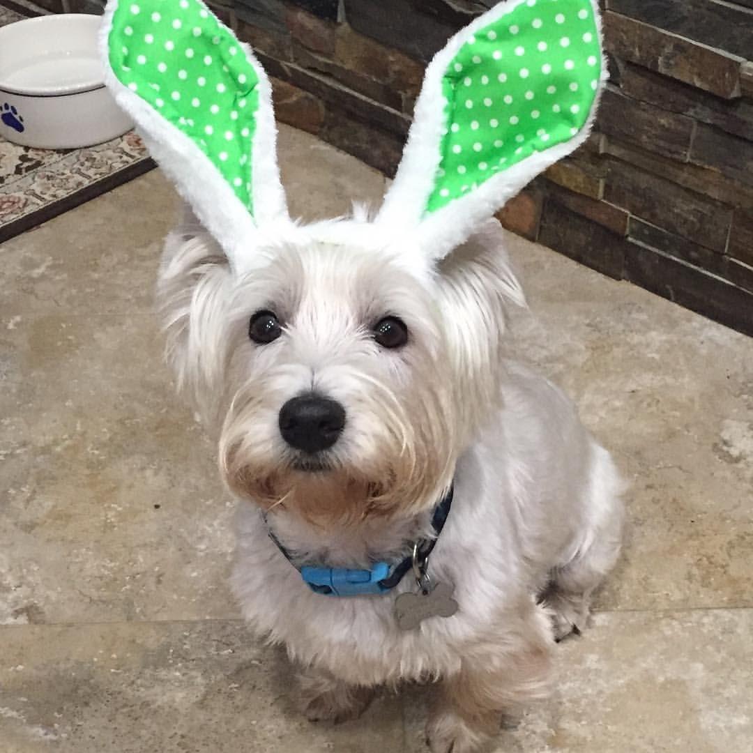 いいね!95件、コメント3件 ― Westie Rescue of Orange Countyさん(@westierescueoc)のInstagramアカウント: 「WROC's Joey says Happy Easter.  #wroc #westiemoments #westiesofinstagram #westiegram #westierescue…」