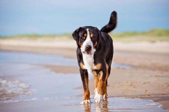 Grosser Schweizer Sennenhund Hunde Sennenhund Grosser Schweizer