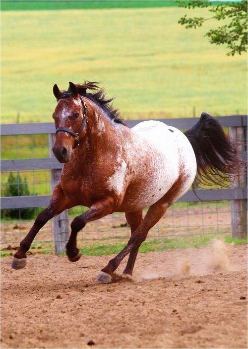 Appaloosa Horses for Sale | Mystic Cher O Lena, Appaloosa