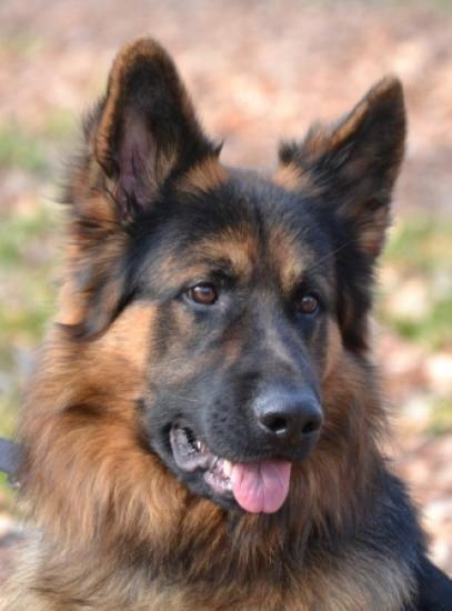 Thinkpup Shop Redbubble In 2020 German Sheperd Dogs Dogs
