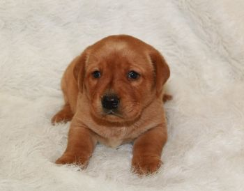 Labrador Retriever Puppies For Sale Minnesota Breeder Fox Red