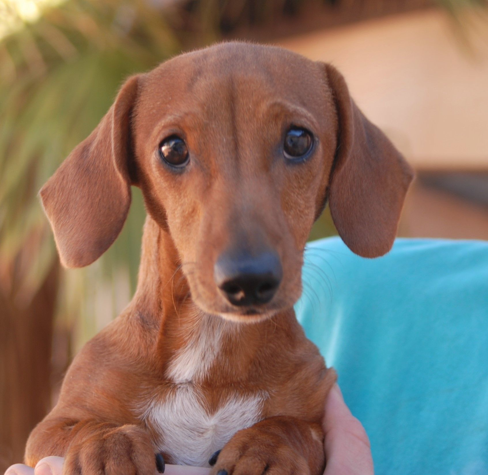 Linus An Adorable Dachshund Puppy Debuts For Adoption Today At