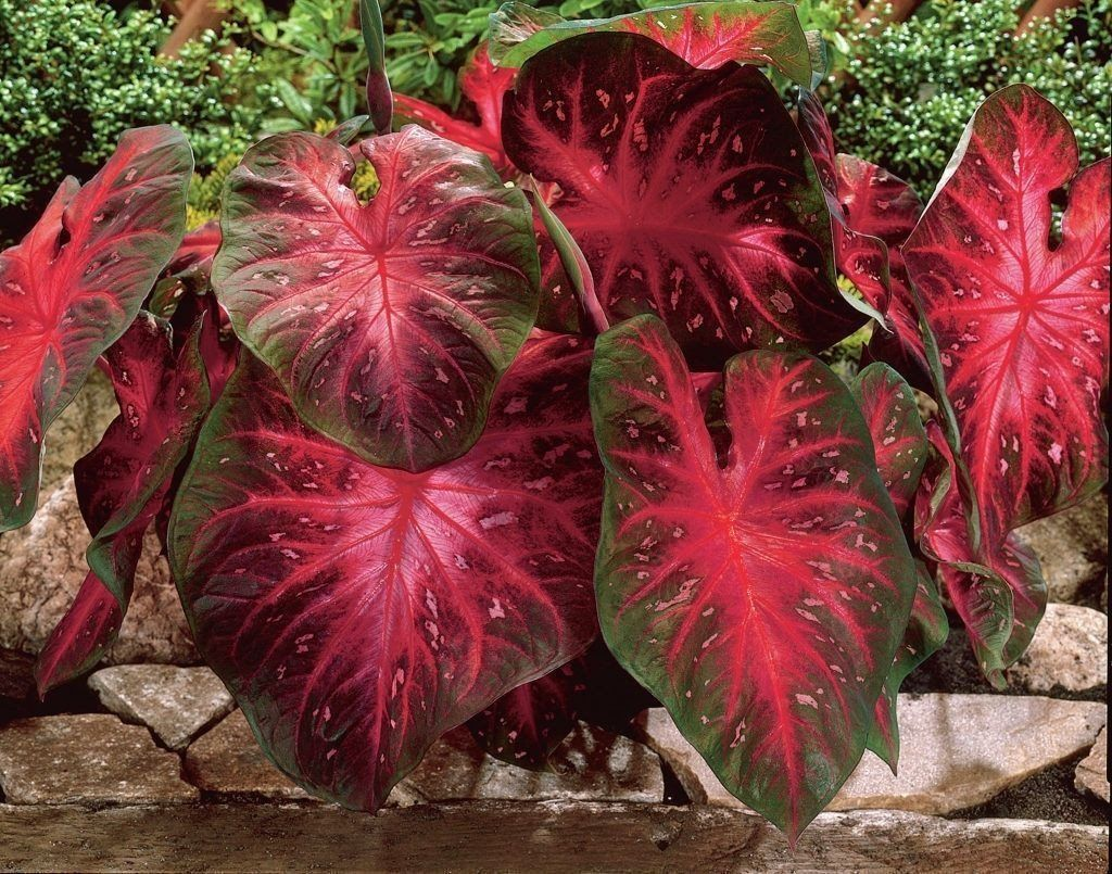 Caladium Red Flash,(6 Bulbs) Thrives in Heat and Humidity, Elephant Ears #elephantearsandtropicals