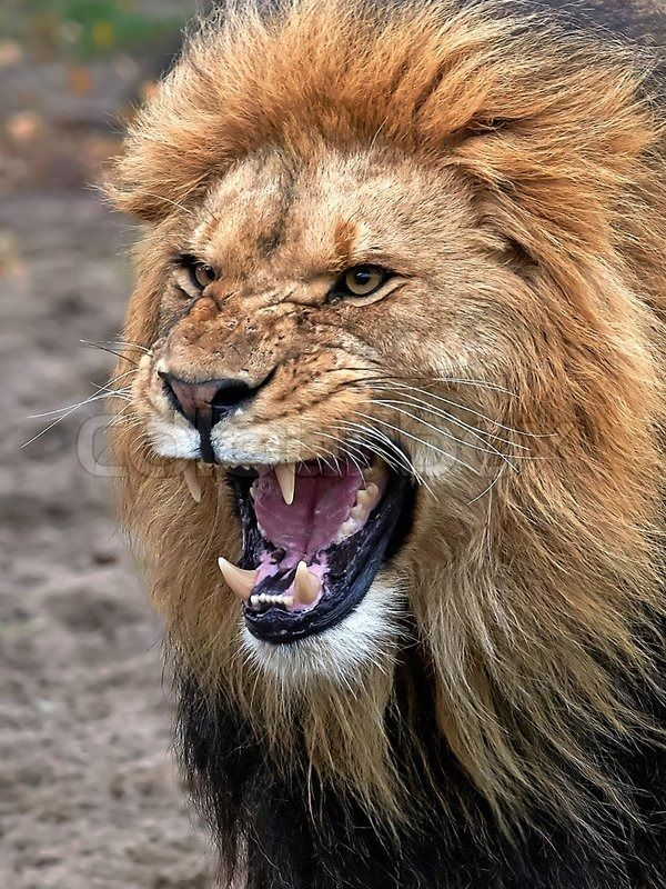 closeup of a angry lion with open mouth and showing teeth stock