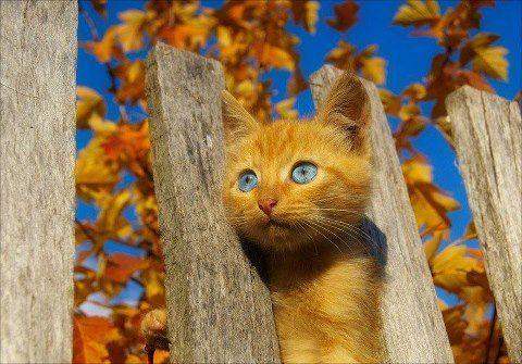 blue eyed fall kitty