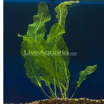 Madagascar Lace Aponogeton Madagascariensis Live Aquatic Aquarium Plant Planted Aquarium Marine Plants Freshwater Aquarium Fish
