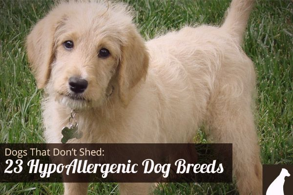 Dogs That Don T Shed 23 Hypoallergenic Dog Breeds Dog Breeds