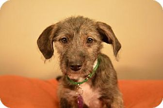 Berkeley Heights, NJ - Schnauzer (Miniature) Mix. Meet Arlo, a puppy for adoption. http://www.adoptapet.com/pet/12043229-berkeley-heights-new-jersey-schnauzer-miniature-mix