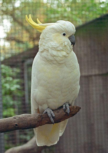 https://flic.kr/p/7Lcdb4 | Greater Sulphur-crested Cockatoo