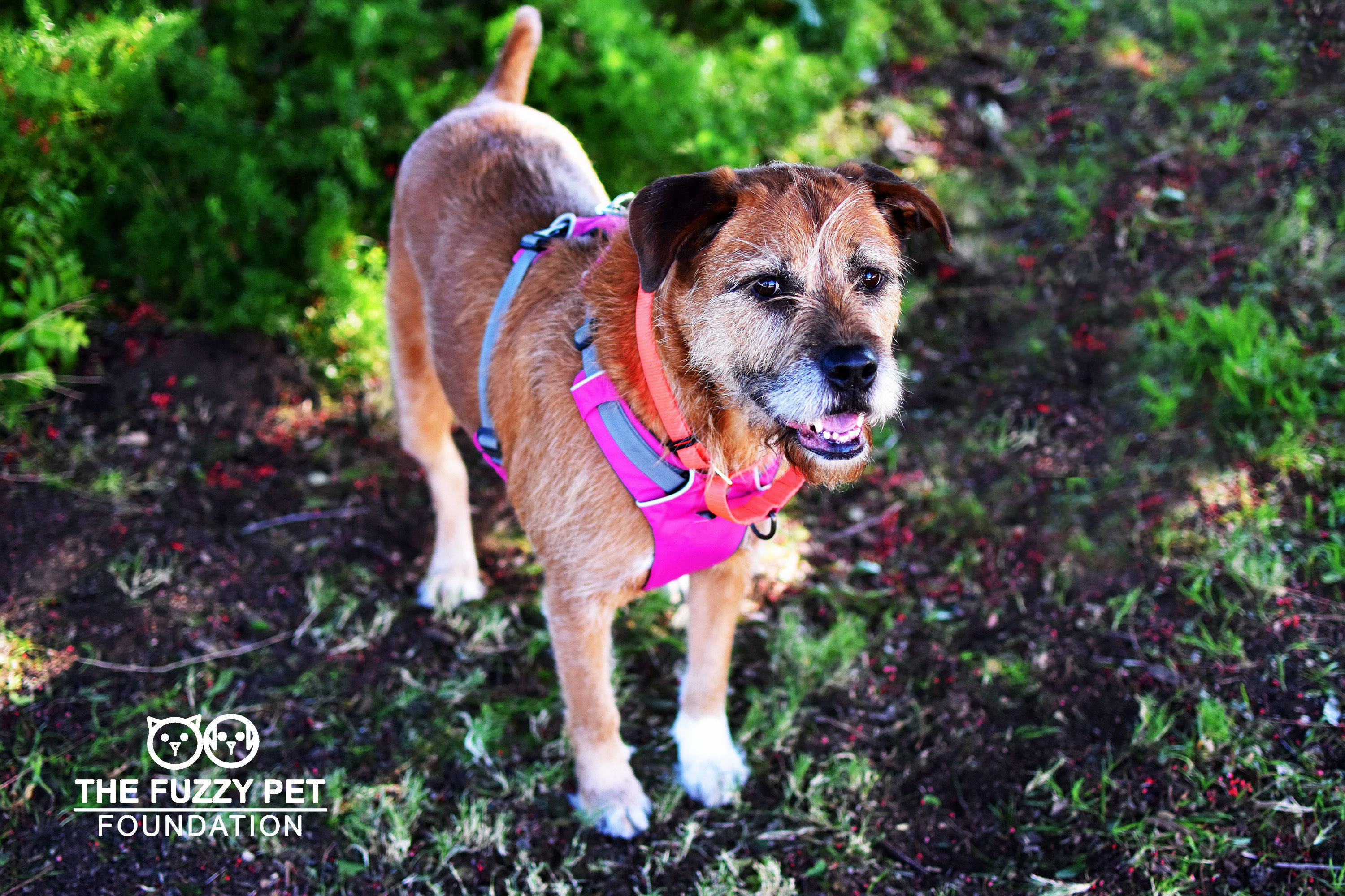 Adopt Amy Energetic And Sweet On Petfinder Irish Wolfhound Dog Adoption Terrier Mix Dogs