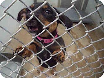 Visalia Ca Dachshund Mix Meet Lucky A Puppy For Adoption