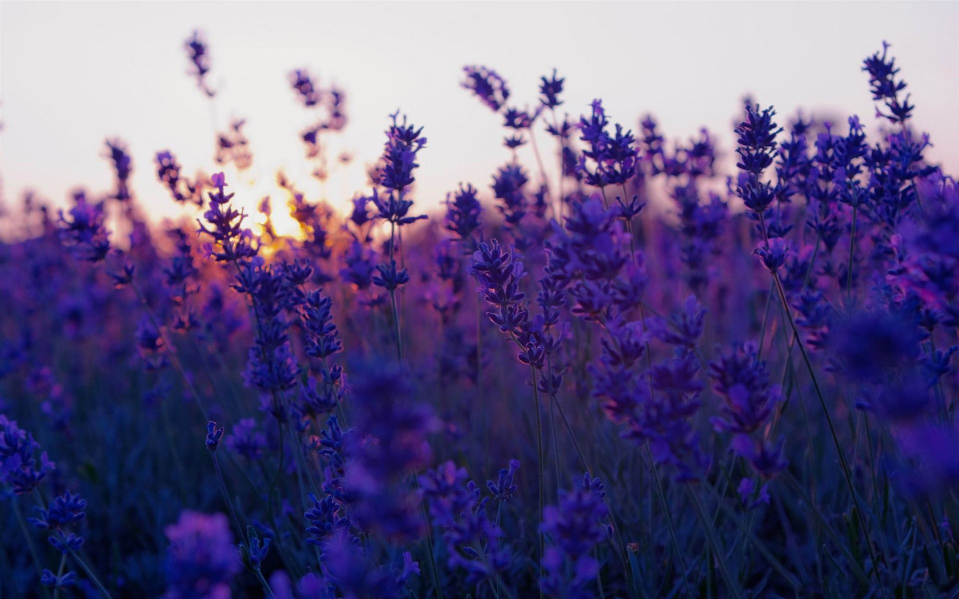 Lavender Fields LAVENDER LOVE ✿⊱╠Pinterest