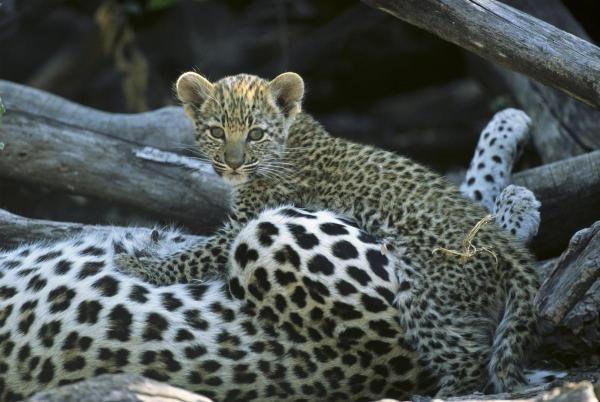 Beverly Joubert - A Leopard  Cub Prepares To Nurse - Fine Art Print
