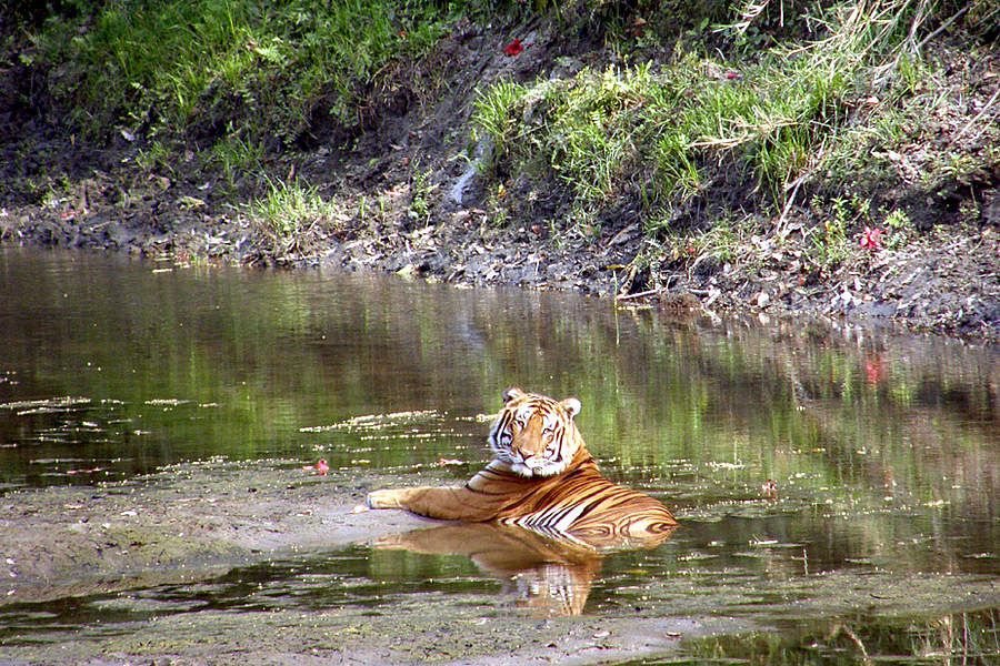 resting tiger in Kaziranga, National Park Assam