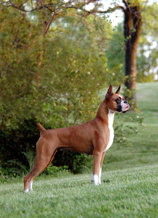 Pin By Paula On Sweet Animals Boxer Dogs Boxer Puppies Cute Dogs