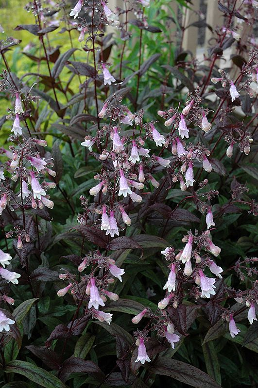 Darl towers beard tongue penstemon 39 dark towers 39 at stein 39 s garden home towers perennials for Stein s garden home green bay wi