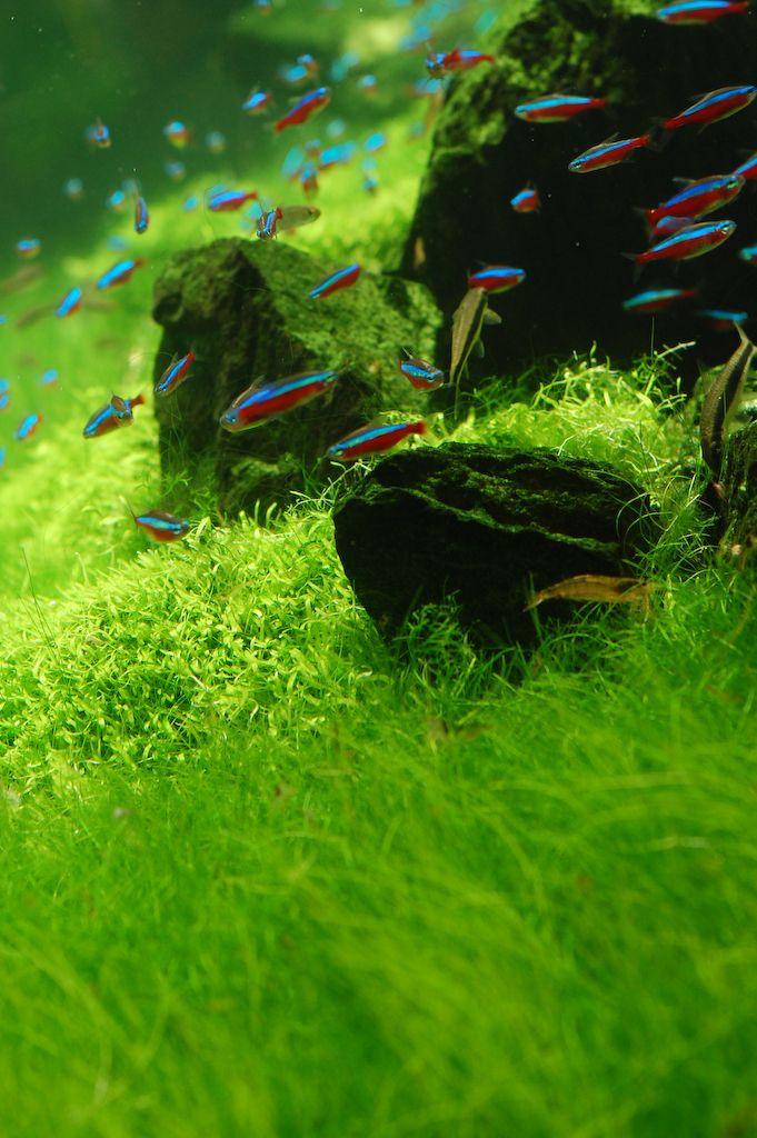 Iwagumi Style Aquascape With Neon Tetra Paracheirodon Innesi Nature Aquarium Aquarium Landscape Aquarium