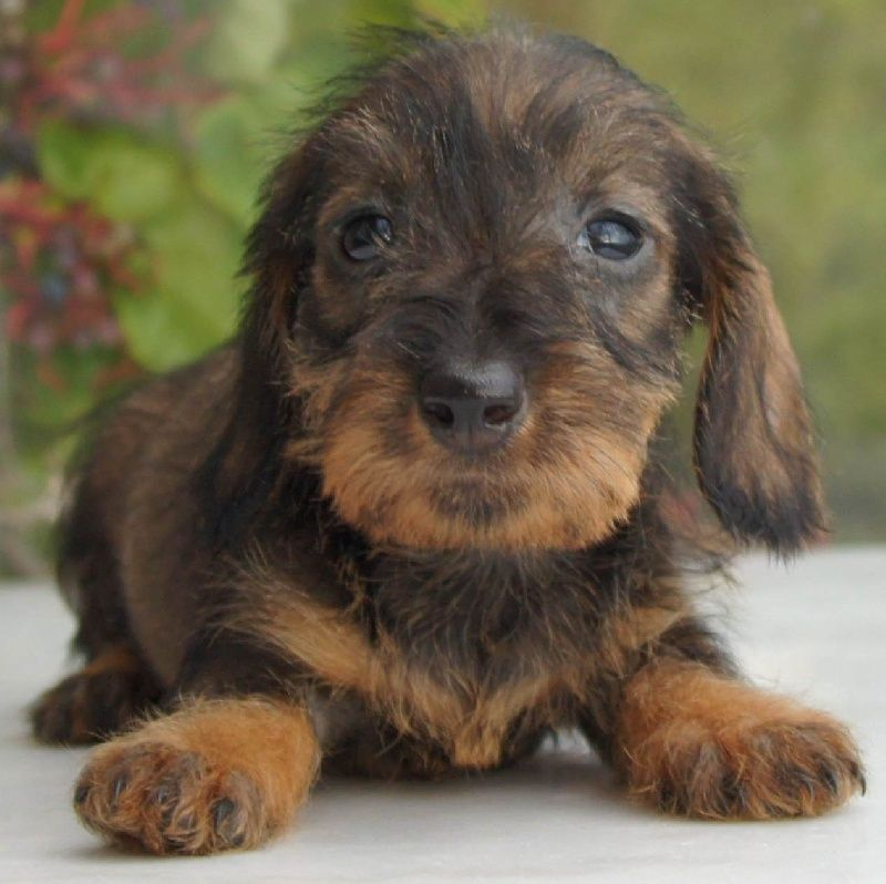 Teckel Poil Dur Wire Haired Dachshund Doxie Puppies Doxie Mom