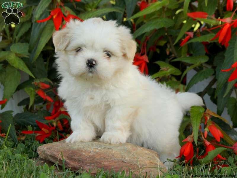 Standard Pa Greenfield Puppies Standard Shih Tzu Puppies For Sale