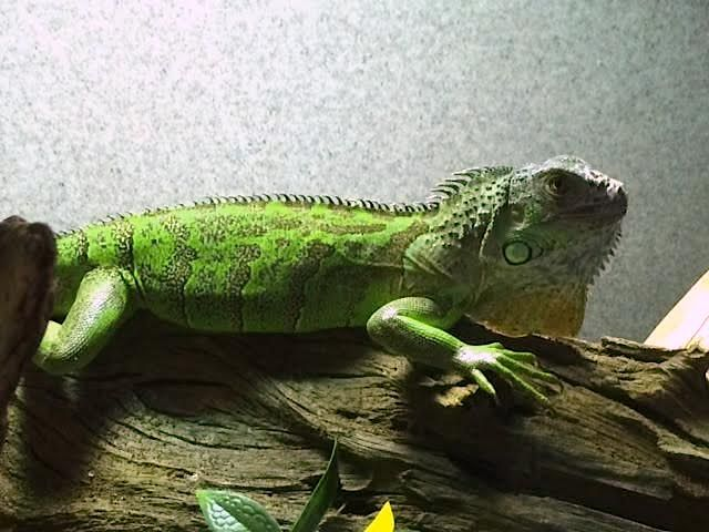 Green Iguanas Can Be Good Pets But Are Not For Beginners Check Out Our Caresheet On These Beautiful Lizards Met Afbeeldingen
