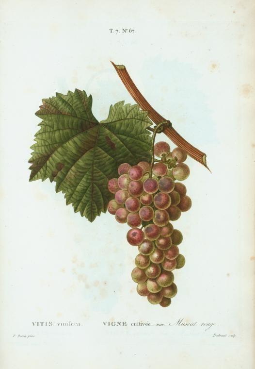 Vitis Vinifera Vigne Cultivee Var Muscat Rouge From New York Public Library Digital Collections Botanical Art Muscat Botanical