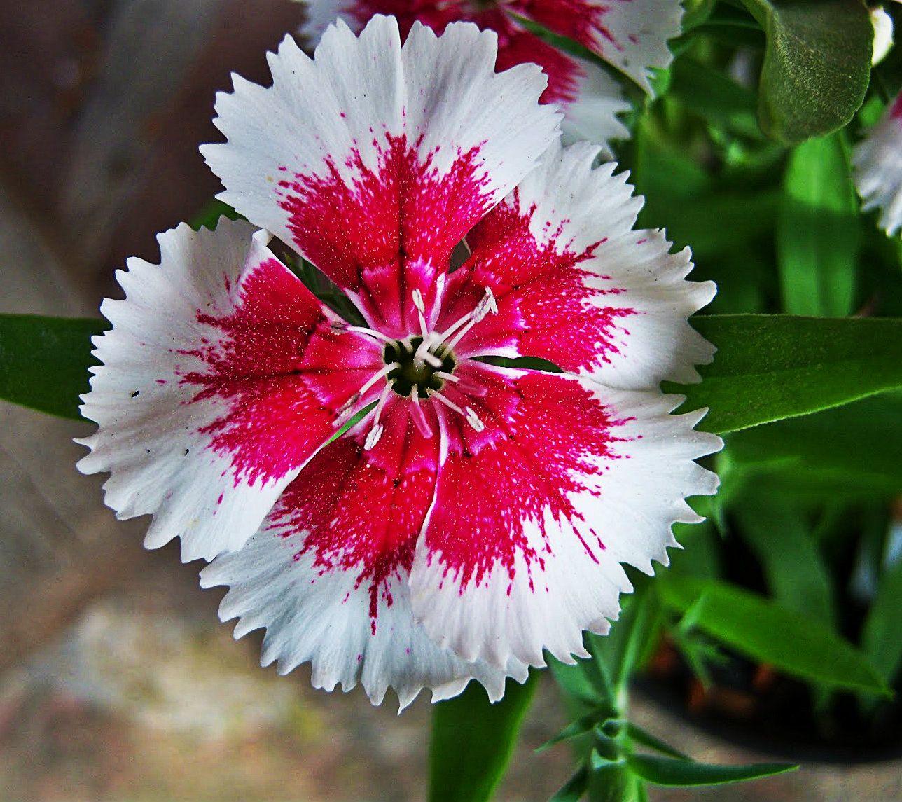 Simbolo Naturales Del Estado Tachira | s 237 mbolos naturales del estado t 225 chira clavellinas claveles flores bonitas