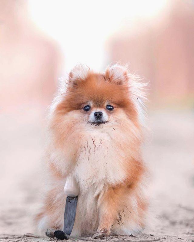 Pin By Judy Barner On Pommy Love Pomeranian Chihuahua Mix Pomeranian Puppy Pomeranian