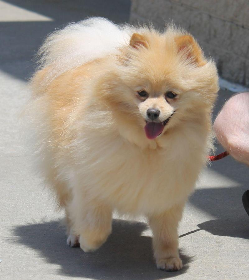 Meet Dora A Petfinder Adoptable Pomeranian Dog Gainesville Ga