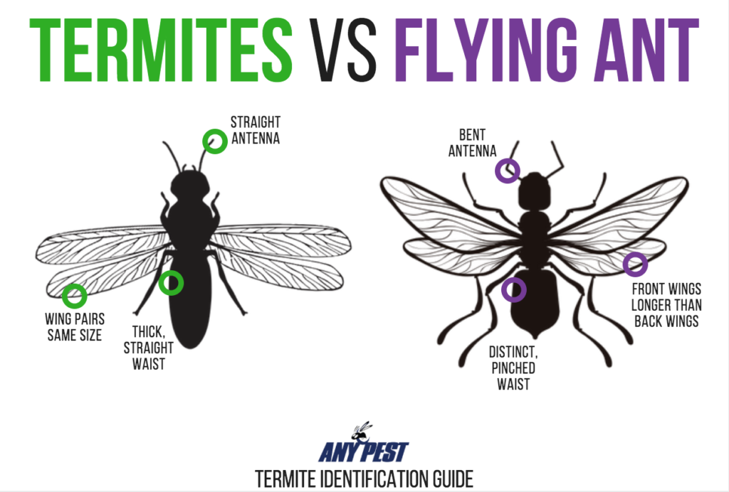 The Difference Between Flying Ants And Termites Any Pest Termites Flying Ants Termite Control