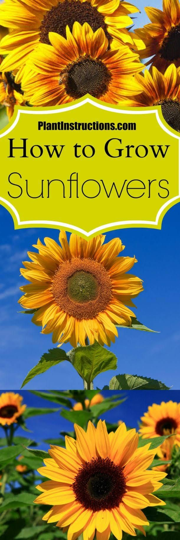 How To Grow Sunflowers In Your Garden Garden 309 East Takaka Growing Sunflowers Sunflower Garden Plants