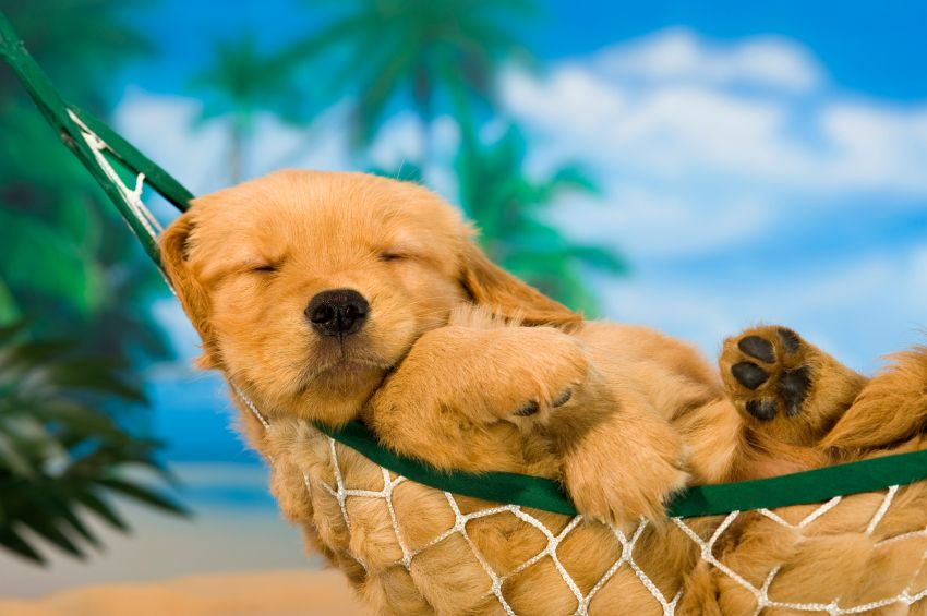 Golden Retriever Puppy In A Hammock Retriever Puppy Cute