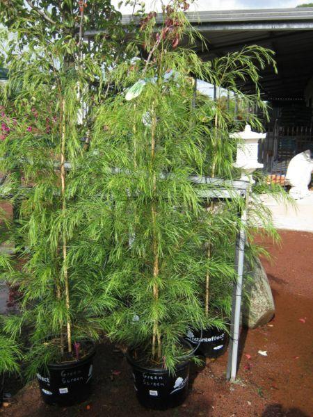 Acacia Cognata Green Screen Native Screening Plant Ltd Stock Plants Gumtree Australia Kingston Area Heatherton Native Garden Plants Coastal Gardens