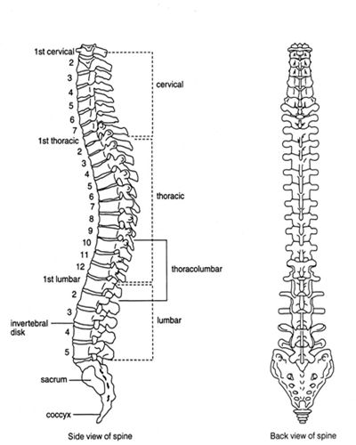 Labelled diagram of spinal (vertebral) column, side-view and back ...