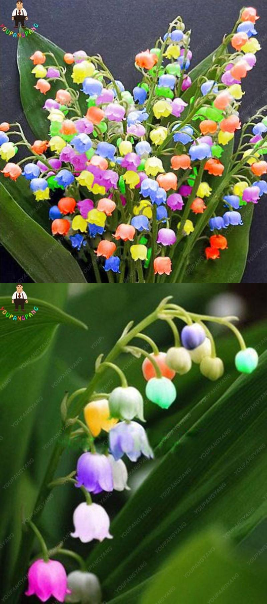 Rainbow Lily Of The Valley 100 Seeds Most Beautiful Flowers In 2020 Most Beautiful Flowers Orchid Flower Beautiful Flowers