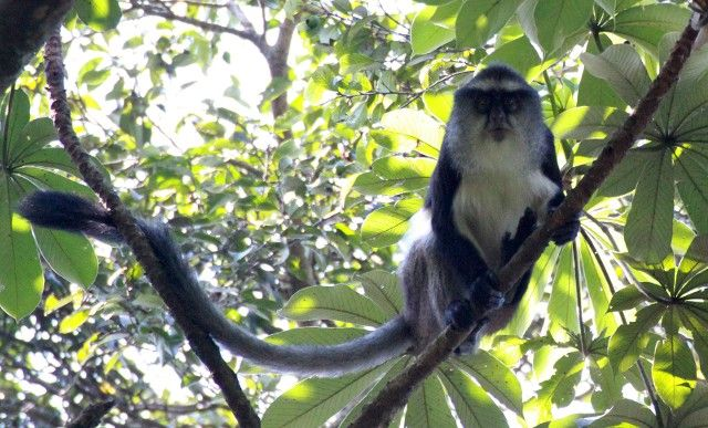 dent's mona monkey