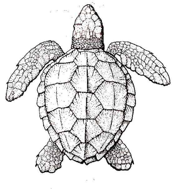 realistic turtle coloring pages - Google Search | Coloring pages for ...