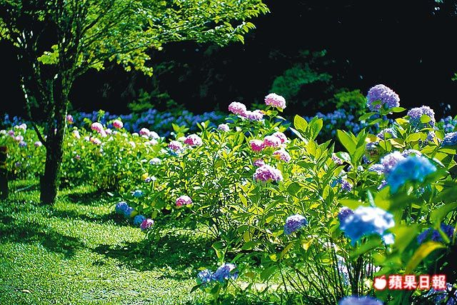 每年暑假杉林溪的繡球花滿園開展,又以7月份最為盛開。
